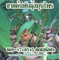 herbthai ขายต้นพันธุ์สมุนไพร