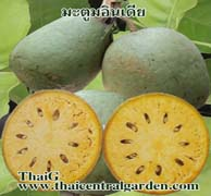 manowvan.com ขายกิ่งพันธุ์มะตูมอินเดีย พันธุ์ไม้ผล ไม้ป่า ไม้ตัดใบ ไม้ประดับ ปาล์ม